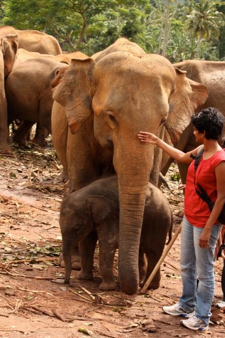 touching an elephant at pinnawala, sri lanka