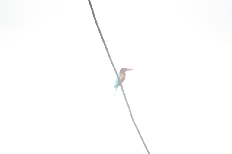 is that a kingfisher on a cable?