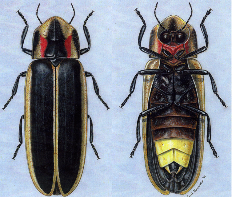the anatomy of a firefly