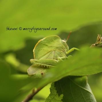 the hooded grasshopper...