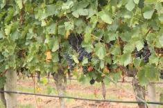 Grapes, grapes and more grapes...
